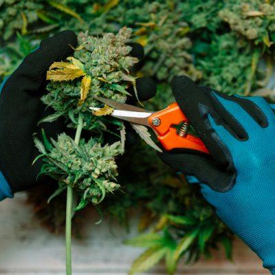 Cutting  cannabis buds. medical marijuana concept background