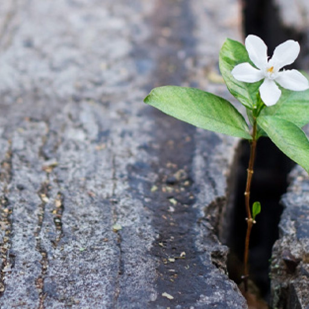 Flower growing through the crack in pavement